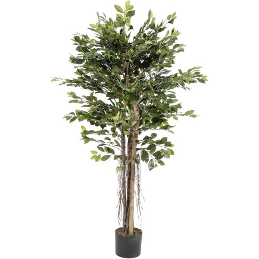 Picture of FICUS RETUSA tree h150cm green
