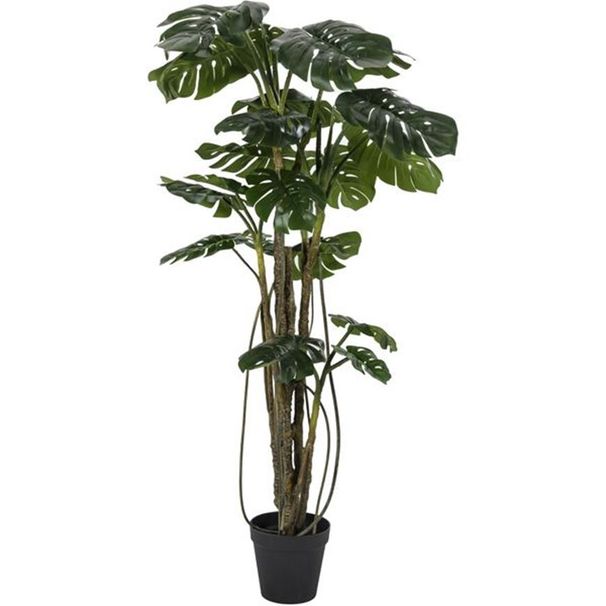 Picture of MONSTERA tree h210cm green